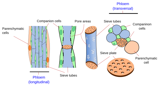 Plant tissues. Vascular. Metaphloem and metaxylem. Atlas ...