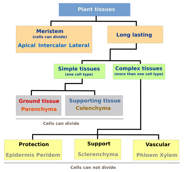Plant Tissues Introduction Atlas Of Plant And Animal