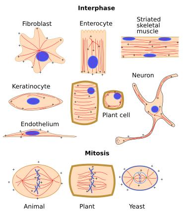 The cell. 7. Cytosol. Cytoskeleton. Microtubules. Atlas of ...