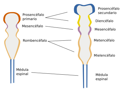 Resultado de imagen para funciones prosencefalo mesencefalo romboencefalo