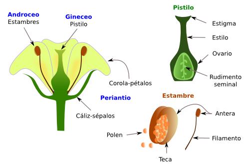 El dibujo de una flor con sus partes - Imagui