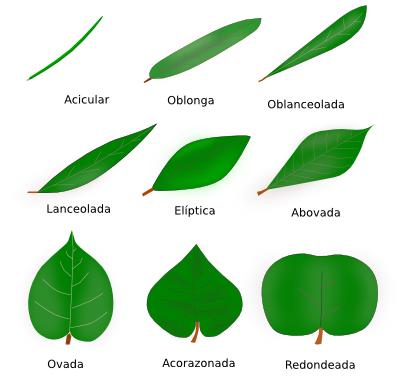 Rganos vegetales hoja atlas de histolog a vegetal y animal for Porque hay arboles de hoja perenne