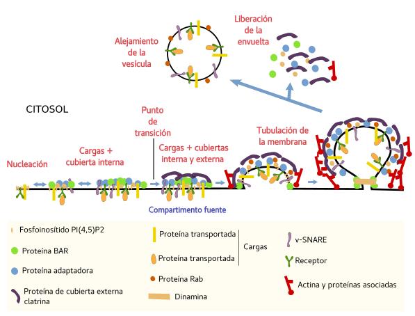 celula animal y sus partes. sus moléculas formen parte