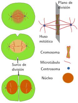 external image 8-centrosoma-citocinesis.png