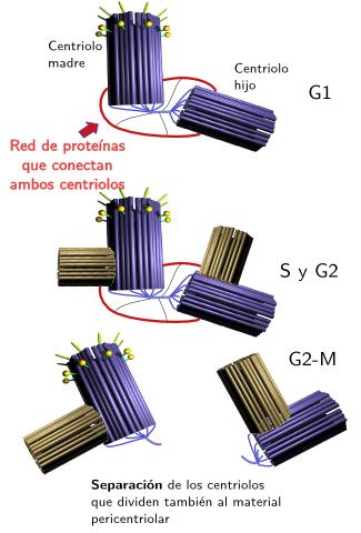 celula animal y sus partes. partes de la célula