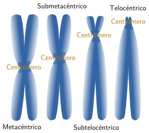 external image 8-cromosomas-formas.png