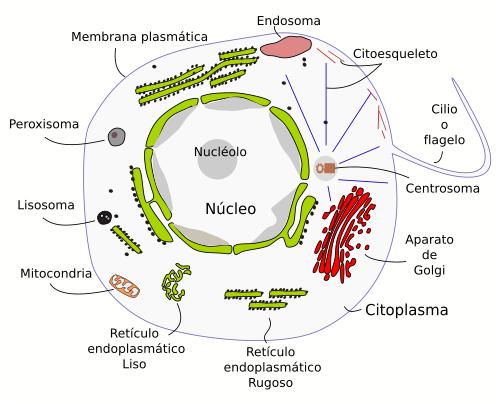 imagenes de celula vegetal. celula animal y celula