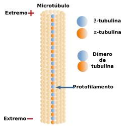 Esquema de la organización de los dímeros de tubulina en un protofilamento que forma parte de un microtúbulo. Nótese que la α-tubulina está orientada hacia el extremo menos y la β-tubulina hacia el extremo más.