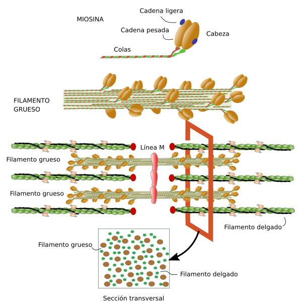 Tipos celulares. Miocito. Atlas de Histología Vegetal y Animal
