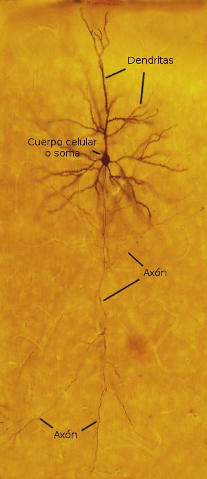 Tipos celulares. La neurona. Atlas de Histología Vegetal y ...