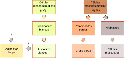 Differentiation of adipocytes