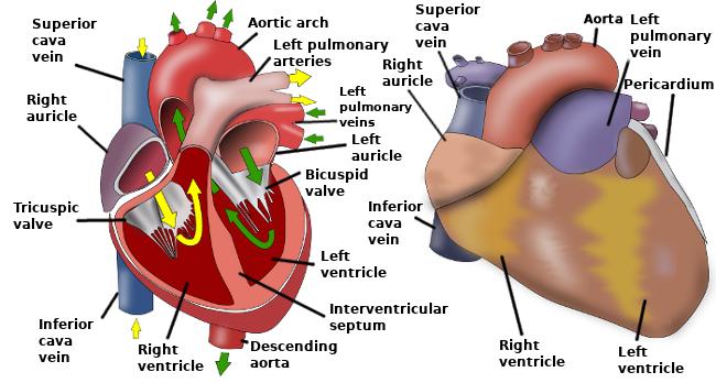 Animal organs. Cardiovascular system. Atlas of plant and animal ...