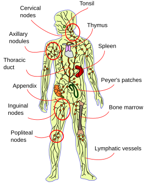 Animal organs. Lymphatic system. Atlas of plant and animal ...