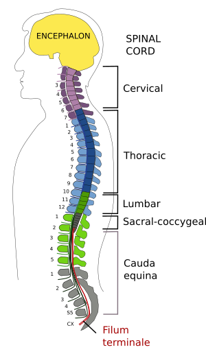 Animal Organs Nervous System Spinal Cord Atlas Of Plant And Animal Histology Medical definition of filum terminale: animal organs nervous system spinal