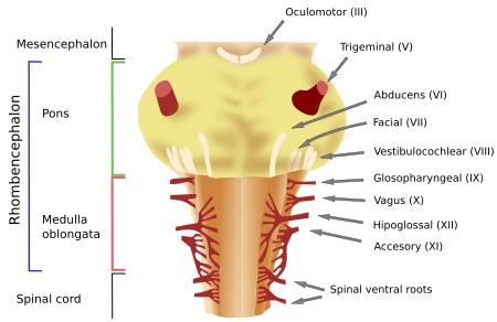 Animal organs. Nervous system. Rhombencephalon. Atlas of ...