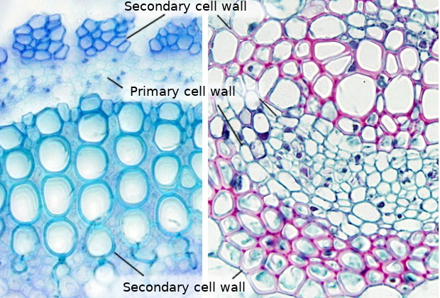 the cell more information cell wall atlas of plant and animal