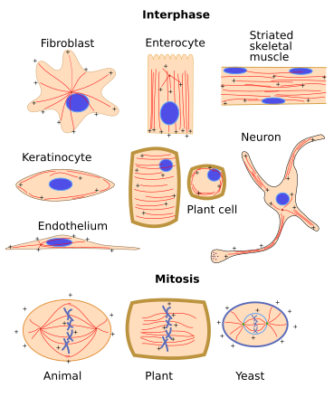 Microtubule organization in different types of cells