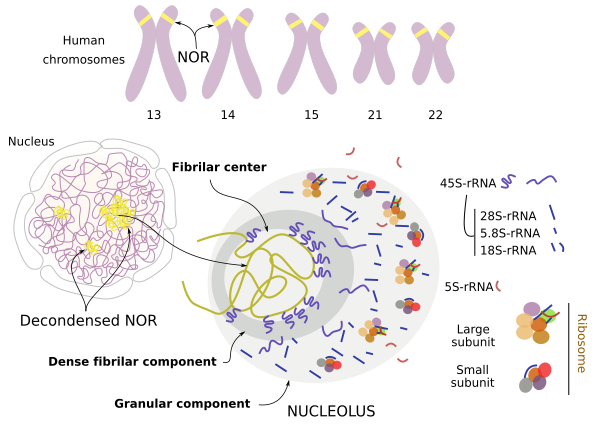 4.3C: The Nucleus and Ribosomes - Biology LibreTexts