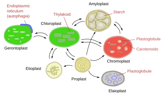 Type of leucoplast plant cell diagram auto electrical wiring diagram the cell 6 plastids atlas of plant and animal histology rh mmegias webs uvigo es plant ccuart Choice Image