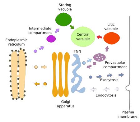 Animal Cell Golgi Apparatus Function