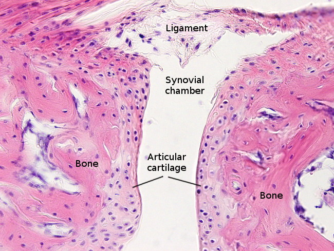 Animal tissues. Cartilage. Atlas of Plant and Animal ...