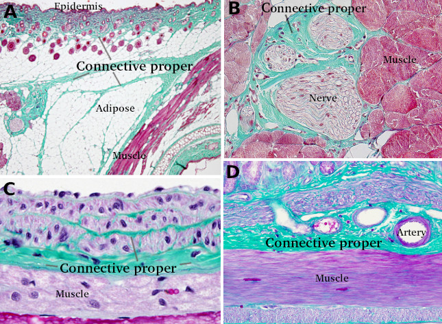 Animal Tissues Connective Tissue Proper Atlas Of Plant And Animal Histology