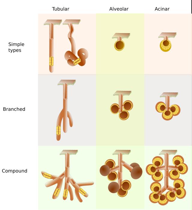 Epithelial Tissue Glandular Epithelium Types Of Glandules Atlas