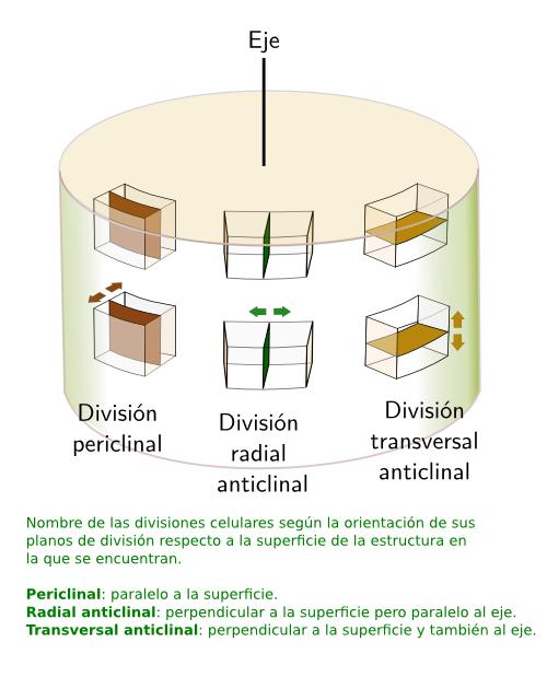 Meristemo primario caulinar. Atlas de Histología Vegetal y Animal