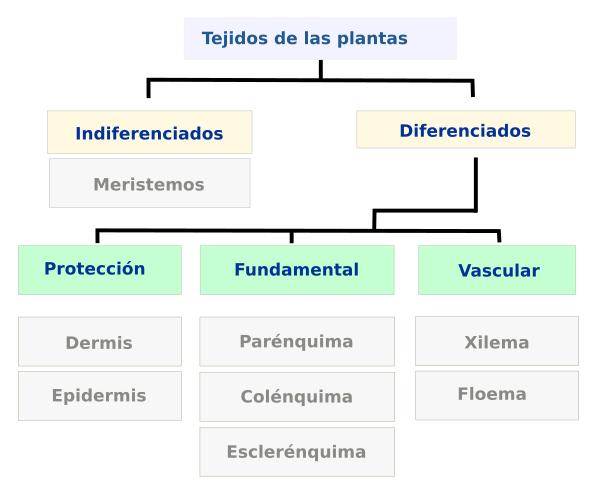 Tejidos Vegetales Introducción Atlas De Histología Vegetal
