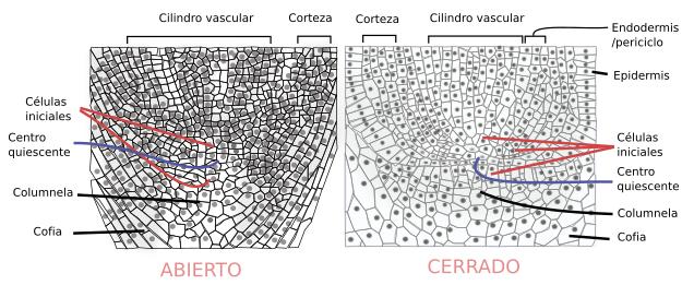 Tejidos Vegetales Meristemo Primario Radicular Atlas De