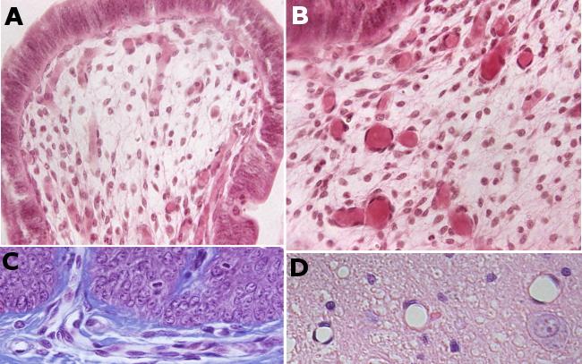 2. Órganos animales. Cardiovascular. Capilares. Atlas de Histología ...