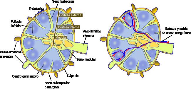 Órganos animales. Sistema linfático. Atlas de Histología Vegetal y ...
