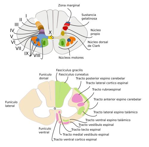 Órganos animales. Sistema nervioso central. Atlas de Histología ...