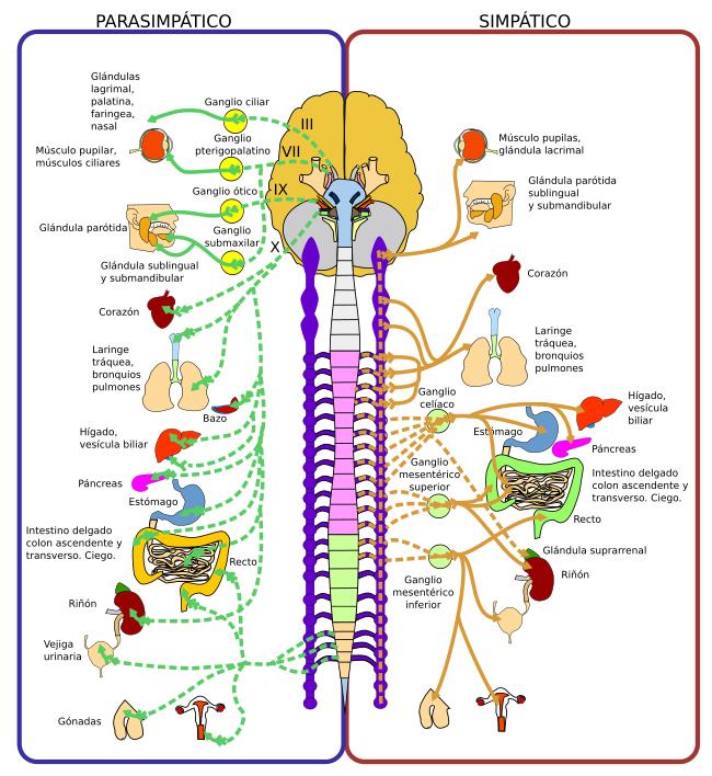 Órganos animales. Sistema nervioso. Periférico. Atlas de Histología ...