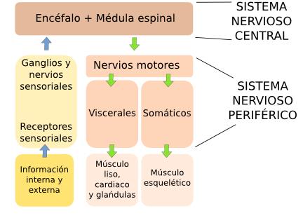 Órganos animales. Sistema nervioso. Atlas de Histología Vegetal y Animal