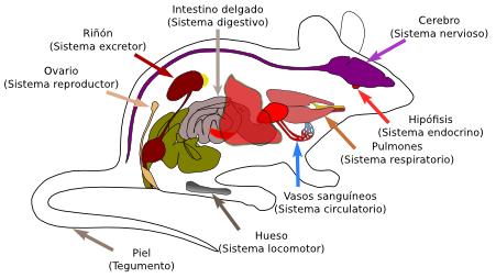 Introducción A Los órganos Animales Atlas De Histología