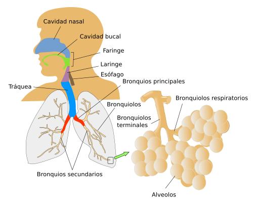 Órganos animales. Sistema respiratorio. Atlas de Histología Vegetal ...