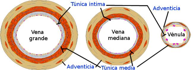 Tipos de venas