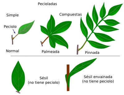 órganos Vegetales Hoja Atlas De Histología Vegetal Y Animal