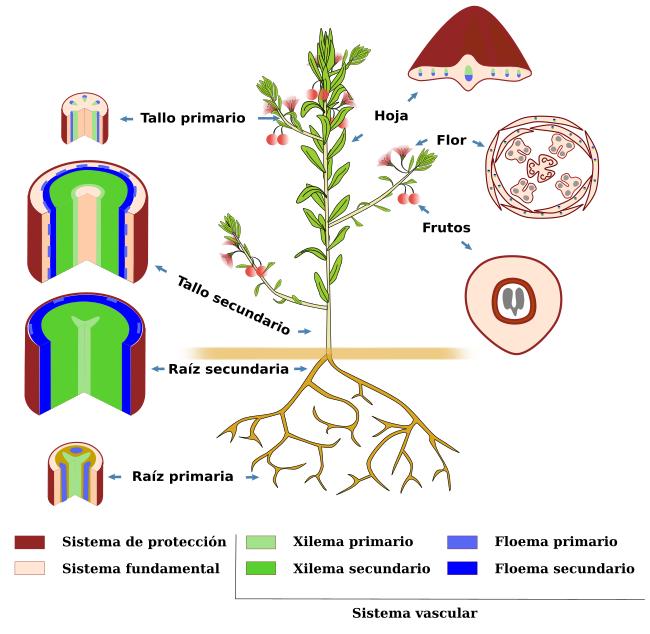 Introducción a los órganos vegetales. Atlas de Histología Vegetal y ...