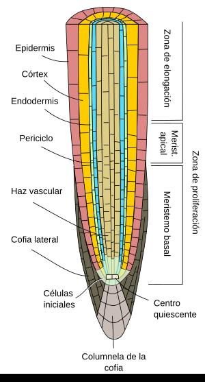 órganos Vegetales Raíz Primaria Atlas De Histología