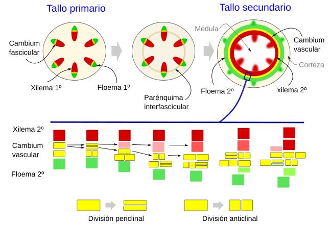 Órganos vegetales. Tallo: crecimiento secundario Atlas de Histología ...
