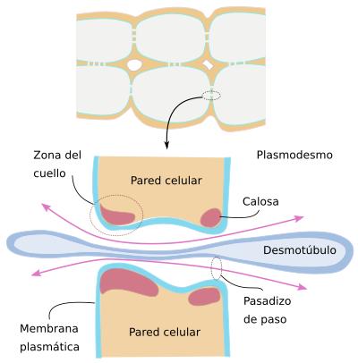 La c lula 3 membrana celular ampliaciones plasmodesmos for Pared y membrana celular