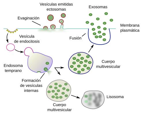 La célula. 5- Exocitosis. Atlas de Histología Vegetal y Animal