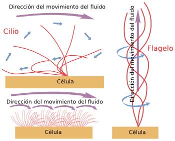 La Célula Ampliaciones Cilios Y Flagelos Atlas De