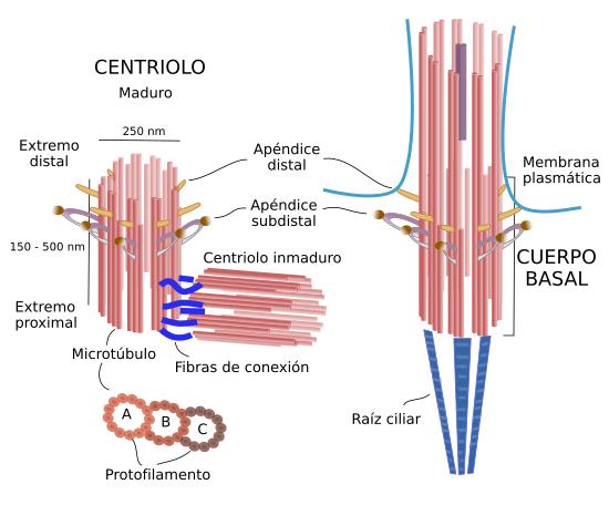 La Célula Ampliaciones Vesículas Atlas De Histología