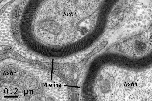 Nervioso: médula. Atlas de Histología animal y vegetal