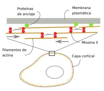 La Célula 7 Citosol Citoesqueleto Filamentos De Actina