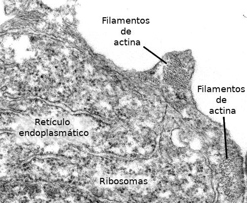 La Célula 7 Citosol Citoesqueleto Filamentos De Actina Atlas De
