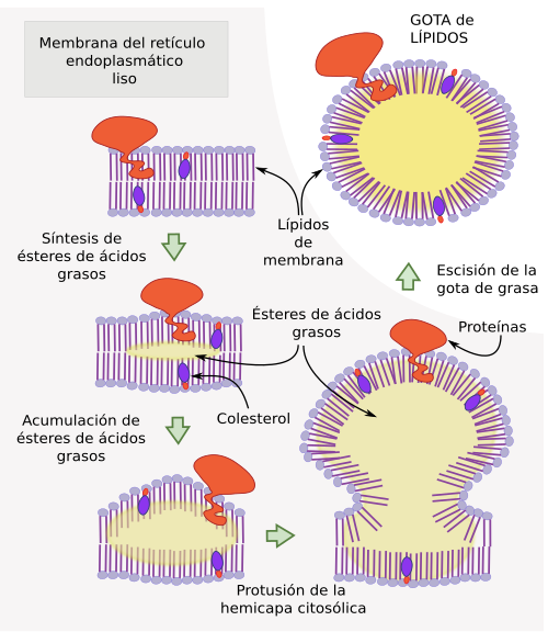 La célula. 6 - Gotas de lípidos. Atlas de Histología Vegetal y Animal